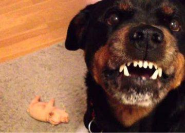 Ροτβάιλερ: Το πιστό σκυλί που όμως μπορεί να γίνει δολοφόνος